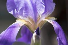 Flor del germanica del iris Imagen de archivo