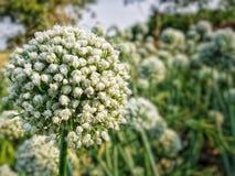 Flor del germen de la cebolla Fotografía de archivo