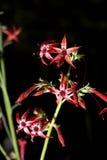 flor del gilia del escarlata fotografía de archivo libre de regalías