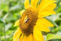 Flor del girasol con la abeja Fotografía de archivo