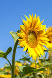 Flor del girasol contra un cielo azul Imagen de archivo libre de regalías