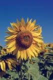 Flor del girasol contra un cielo azul Imagenes de archivo