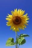 Flor del girasol contra un cielo azul Fotografía de archivo