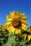 Flor del girasol contra un cielo azul Foto de archivo libre de regalías