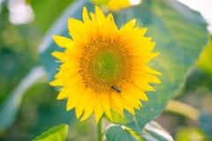 Flor del girasol en un campo en un día soleado con la abeja y el rocío en una flor Fotografía de archivo libre de regalías