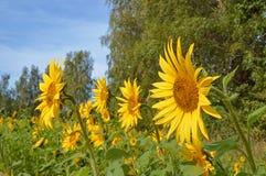 Flor del girasol en un día soleado Fotografía de archivo