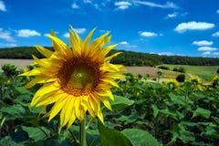 Flor del girasol en un día soleado Imagenes de archivo