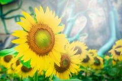 Flor del girasol en un parque Imágenes de archivo libres de regalías