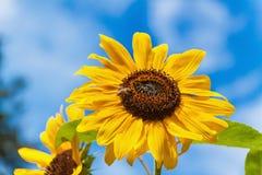 Flor del girasol y de la abeja Aceite de girasol creciente Cosechas agrícolas Fotografía de archivo