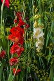 Flor del gladiolo Fotos de archivo libres de regalías