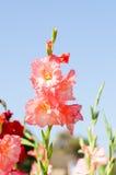Flor del gladiolo Imagen de archivo