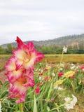 Flor del gladiolo Fotos de archivo