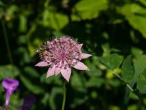 Flor del grandes masterwort o máximos del Astrantia con el primer de la abeja de la miel, foco selectivo, DOF bajo Imagen de archivo
