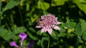 Flor del grandes masterwort o máximos del Astrantia con el primer de la abeja de la miel, foco selectivo, DOF bajo Foto de archivo libre de regalías