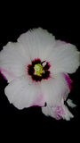 Flor del grito Imagen de archivo libre de regalías