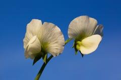Flor del guisante de jardín con la vid Fotografía de archivo libre de regalías