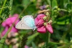 Flor del guisante de olor y mariposa azul común de Polyommatus Ícaro que chupan el néctar imagen de archivo