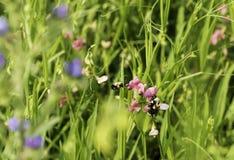 Flor del guisante del sudor Imagen de archivo libre de regalías