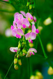 Flor del guisante dulce imagenes de archivo