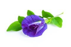 Flor del guisante o flores anchan en el fondo blanco Fotografía de archivo libre de regalías