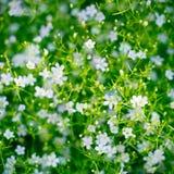 Flor del Gypsophila Imagen de archivo libre de regalías