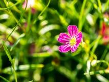 Flor del gypsophila del primer imagen de archivo