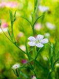 Flor del gypsophila del primer imagen de archivo libre de regalías