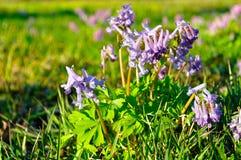Flor del halleri del Corydalis o del solida del Corydalis Fotos de archivo libres de regalías