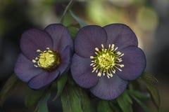 Flor del Hellebore foto de archivo