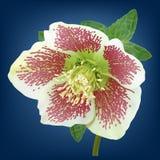 Flor del Helleborus Fotografía de archivo libre de regalías