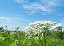 Flor del Heracleum de la planta venenosa Imagen de archivo libre de regalías