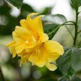 Flor del hibisco. Imagen de archivo libre de regalías