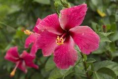 Flor del hibisco. Foto de archivo
