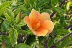 Flor del hibisco Fotografía de archivo