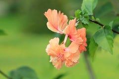 Flor del hibisco Imagen de archivo