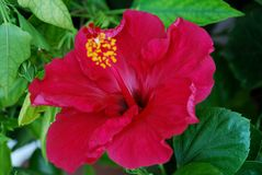 Flor del hibisco Fotos de archivo libres de regalías