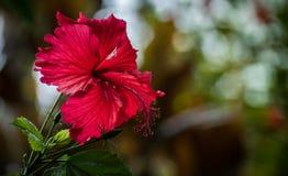 Flor del hibisco con efecto del bokeh imagen de archivo