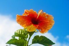 Flor del hibisco con el fondo del cielo azul imagenes de archivo
