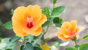 Flor del hibisco con el soplo del viento almacen de video
