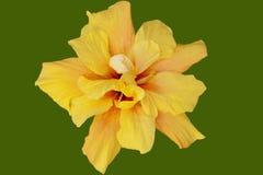 Flor del hibisco con la trayectoria de recortes foto de archivo