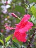 Flor del hibisco con los brotes Imagen de archivo