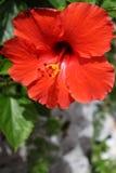 Flor del hibisco en Bermudas Imágenes de archivo libres de regalías