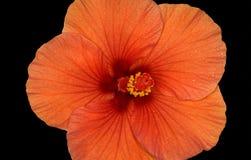 Flor del hibisco en fondo negro Imagenes de archivo