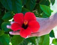 Flor del hibisco en manos de la mujer Fotos de archivo