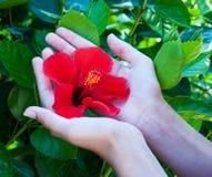 Flor del hibisco en manos de la mujer Foto de archivo libre de regalías