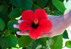 Flor del hibisco en manos de la mujer Foto de archivo