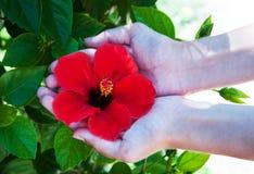 Flor del hibisco en manos de la mujer Imágenes de archivo libres de regalías