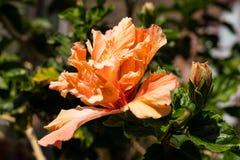 Flor del hibisco en un arbusto foto de archivo