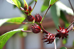 Flor del hibisco o flor de Roselle Fotografía de archivo libre de regalías