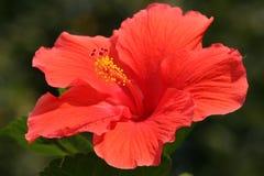 Flor del hibisco (Rose de Sharon) Fotografía de archivo